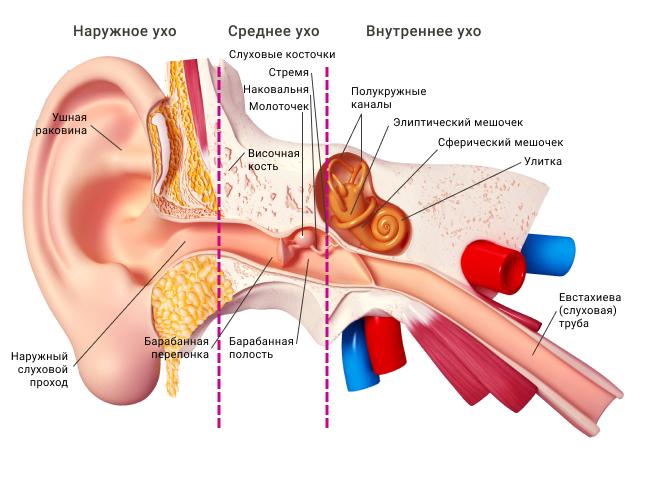 Наружное, среднее и внутреннее ухо человека