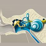 Строение органа слуха